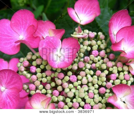 Many Pink Buds