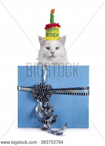 White Maine Coon Cat Wearing Colorful Birtday Hat, Sitting Behind Blue Carton Gift Wrapped Box With