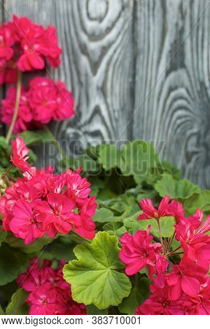 Blooming Geranium. Against The Background Of Brushed Pine Boards Painted In Black And White.