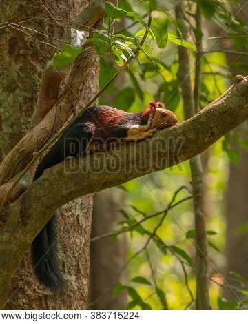 A Gorgeous Malabar Giant Squirrel (ratufa Indica), Resting Flat On The Branch Of A Tree In The Wild.