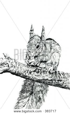 hand drawn illustration in pen and ink of a squirrel eating a nut. set against a white background. illustration by marilyna. poster