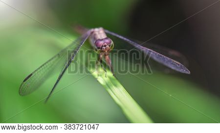 macro photo of an elegant purple dragonfly landed on a leaf in the tropical rainforest of Thailand. Fragile and gracious insect with wide wings and big eyes, odonata family