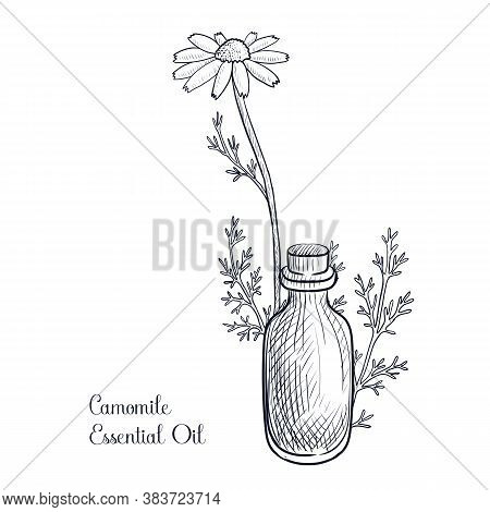 Vector Drawing Camomile Essential Oil, Anthemis Nobilis, Hand Drawn Illustration