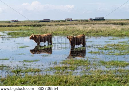 Long Haired Scottish Highland Cattle On A Flooded Green