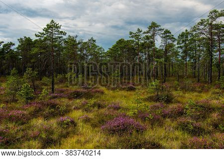 Wetland Landscape Filled With Pine Trees And Flowering Purple Heather.