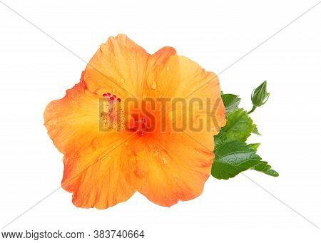 Orange Hibiscus Flower With Leaves Isolated On White Background. Hibiscus Is A Genus Of Flowering Pl