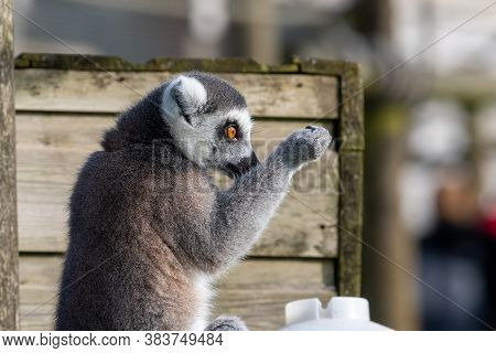 Side View Of A Ring Tailed Lemur (lemur Catta) In A Zoo.
