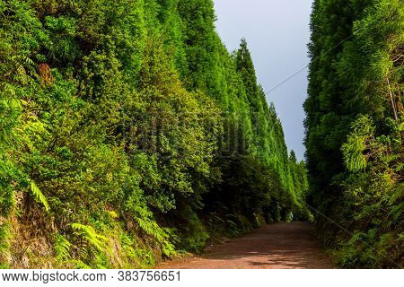 Path in Azorean forest with blue hydrangea flowers and rich green rainforest vegetation in Sao Miguel island, Azores, Portugal