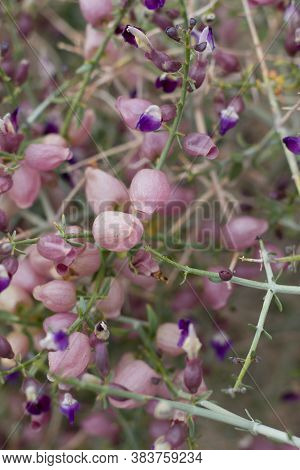 Mature Flower Calyxes Form Shell Like Seed Coverings On Bladder Sage, Scutellaria Mexicana, Lamiacea