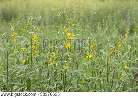 Sunn Hemp Flower Or Crotalaria Juncea Field With Sunlight, Is A Plant That Is Used To Nourish The So