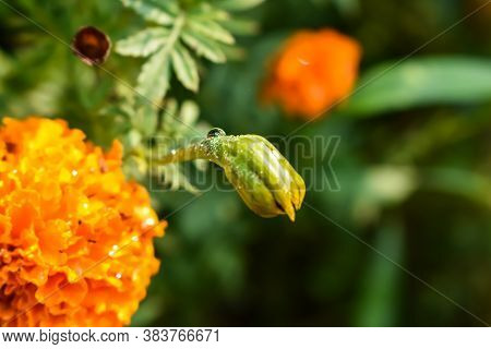 Tagetes Is A Genus Of Annual Or Perennial, Mostly Herbaceous Plants In The Sunflower Family (asterac
