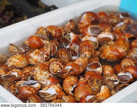 Close-up Of Spotted Babylon Or Areola Babylon For Sale At The Seafood Market. Babylonia Areolata