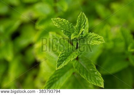 Mint Plant Grow At Vegetable Garden. Ecology Natural Creative Concept. Top View Nature Background Wi