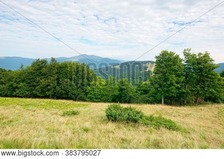 Primeval Beech Forest In Mountains. Mountain Landscape In Summer. Grass On The Meadow. Svydovets Rid