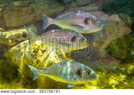 The Gilt-head Bream, Also Called Orata, Latin Name Sparus Aurata, Group Of Floating Fish.