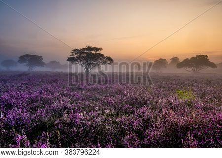 Blooming Heather Field In The Netherlands Near Hilversum Veluwe Zuiderheide, Blooming Pink Purple He