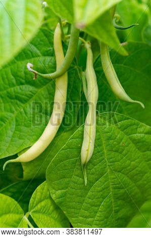 Ripe Yellow-green Long Beans Hanging On Plant In Garden