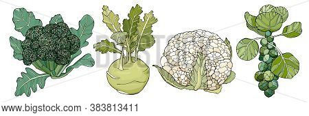 Set Of Different Cabbages: Broccoli, Kohlrabi, Cauliflower, Brussels Sprout. Vector Illustration Iso