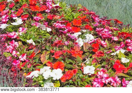 Magnificent Carpet Of Red And White Flowers In The City Park.