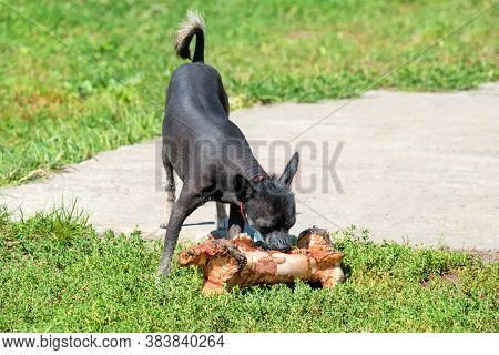 Small Dog With Very Large Bone. Xoloitzcuintle - Hairless Mexican Dog Breed Eating Giant Bone Outdoo