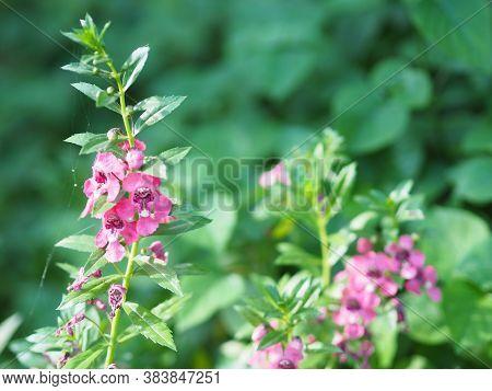 Forget Me Not  Angelonia Goyazensis Benth, Digitalis Solicariifolia Name Purple Flower Is A Single F