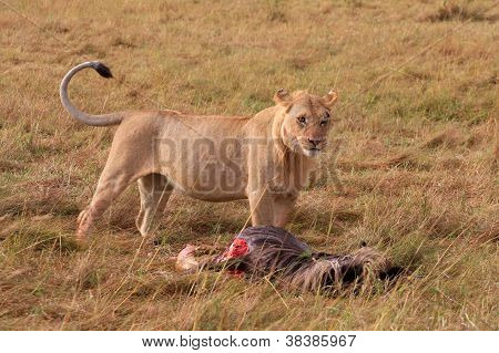 Lioness with her kill in Masai Mara National Park - Kenya