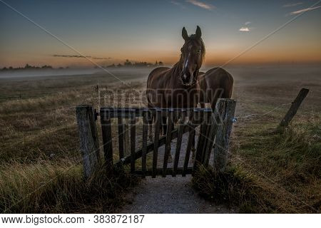Horses Standing At A Gate A Misty Morning, Just Before Sunrise, Holl, Denmark, August 14, 2020