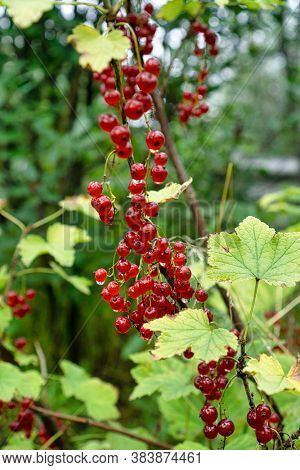 Clusters of red currants on branch.