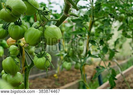 Bunch of unripe green tomatoes in greenhouse.