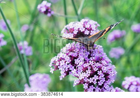 Monarch Butterfly With Its Proboscis Collects Pollen On Lilac Verbena Flowers.