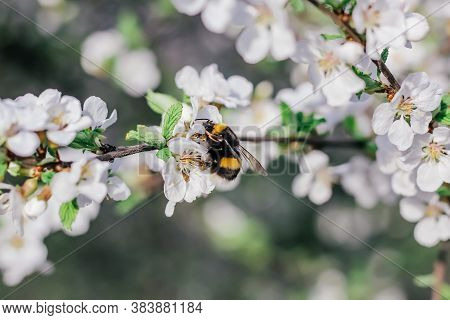 Bumblebee Sits On A Branch Of A Flowering Tree. White Cherry Flowers. Green Leaves Of A Tree. Bumble