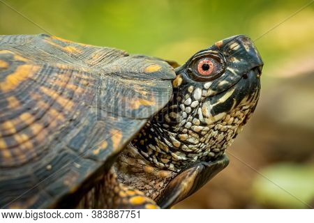 An Eastern Box Turtle With Unique Markings In The Forest. Raleigh, North Carolina.