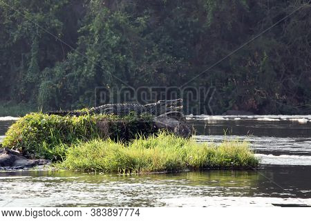 The Nile Crocodile (crocodylus Niloticus).big Crocodile On A Small Island In The River.king Of Small