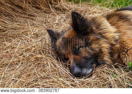 German Shepherd Dog Lies In The Hay. The Dog Sleeps In The Hay.