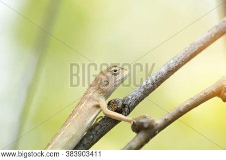 Oriental Garden Lizard, Eastern Garden Lizard Or Changeable Lizard On A Branch. A Brown Asian Chamel