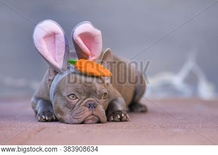 Beautiful Lilac French Bulldog Dressed Up As Easter Bunny Wearing A Headband With Big Rabbit Ears An