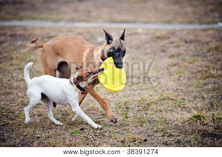 Two dogs play with toy together