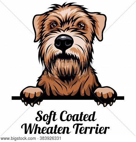 Head Soft Coated Wheaten - Dog Breed. Color Image Of A Dogs Head Isolated On A White Background