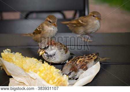 Four Gray Brown Sparrows Pecking Corn In Paper Packaging On The Table, Close-up.
