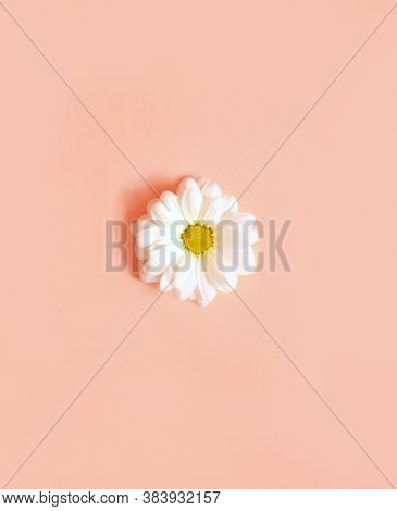 White Camomiles On A Pink Background. Minimalism Concept.
