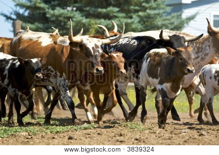 Herd Of Spotted Cattle