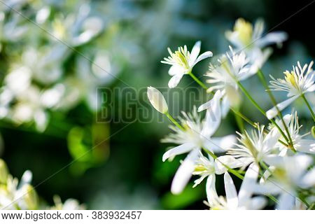 Small White Fragrant Flowers Of Clematis Recta Or Clematis Flammula Or Clematis Flowery Natural Back