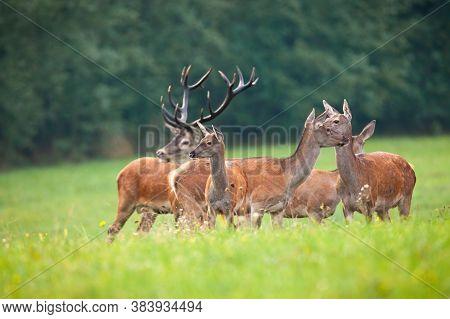 Cautious Herd Of Red Deer Looking Around On Meadow In Autumn Nature