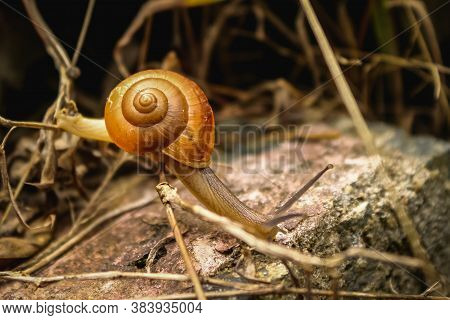 Snail - Close Up Macro Snail On Dry Leaf In The Garden. Reptile Snail Moving On Dry Leaves. Large Wh