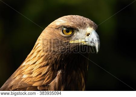 Majestic Golden Eagle Looking In Nature In Close-up.