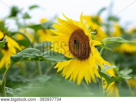 Sunflower In The Field Late Summer With A Working Bee And A Leaves