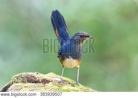 White-bellied Redstart (luscinia Phaenicuroides) Fascinated Blue Bird With Tail Wagging Showing It Y