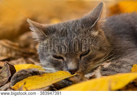 Funny Cat In The Autumn In Yellow Autumn Leaves