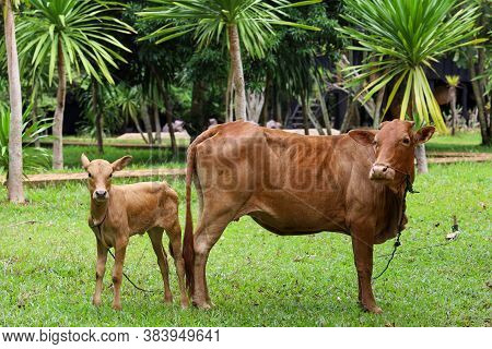 The Family Red Cow Stay In Graden At Thailand
