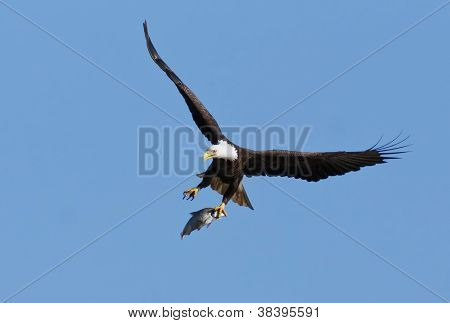 Bald Eagle With Caught Fish